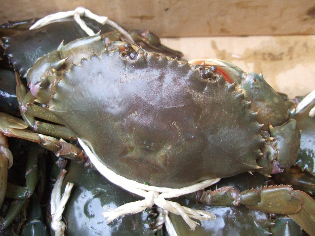 浜名湖名産のどうまん蟹。