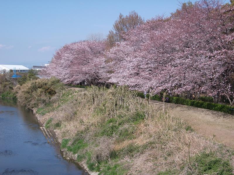 飯田公園の桜。うのいちから車で東に10分位。