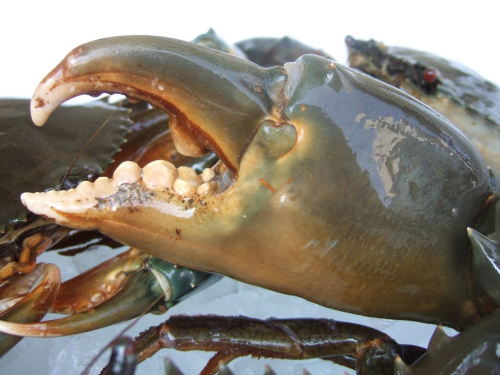 どうまん蟹のオスの爪